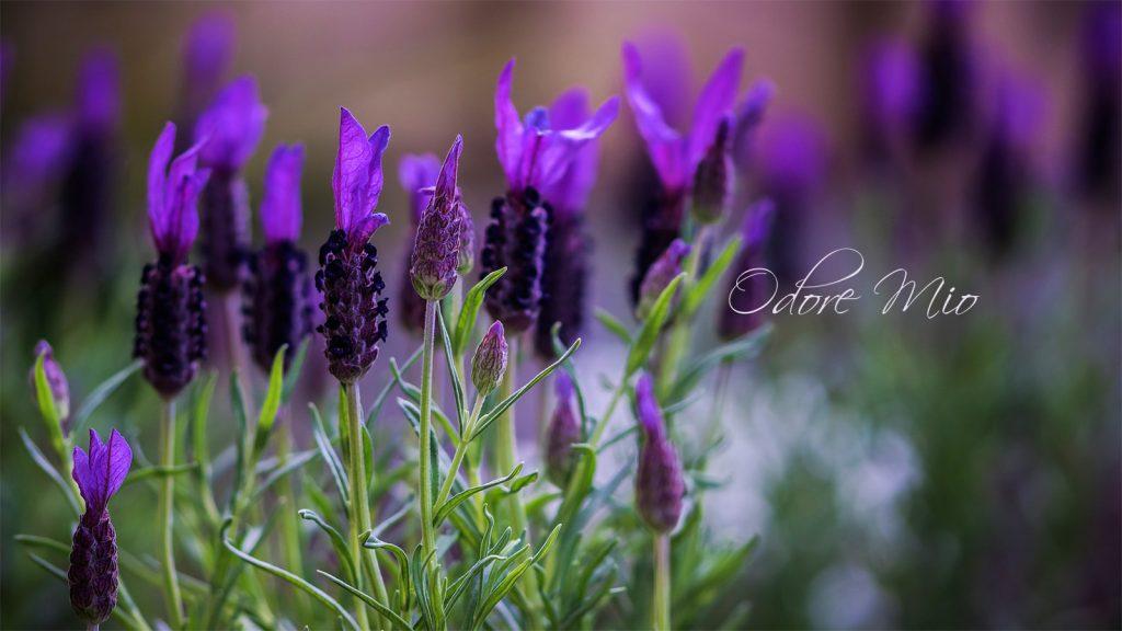 Odore Mio Lavender Slide