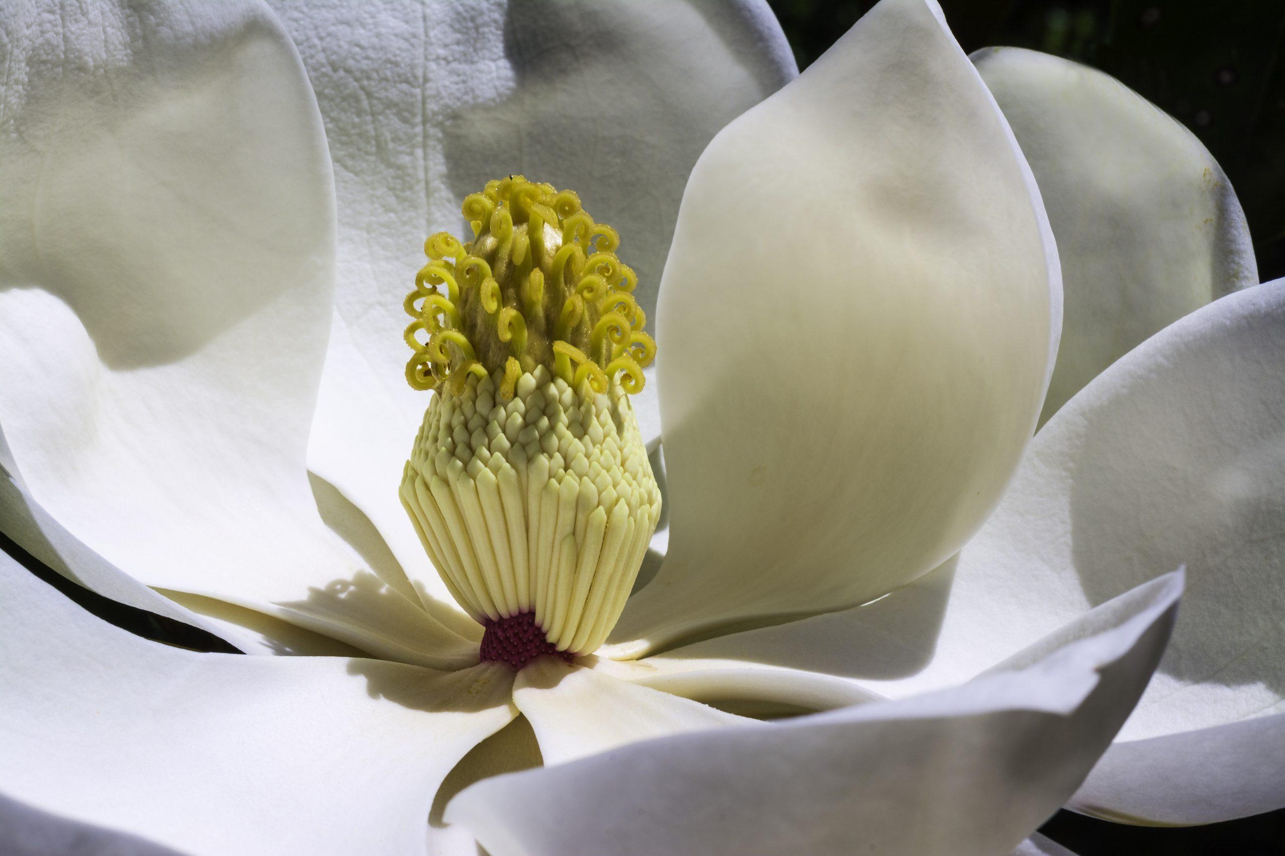 White Magnolia Perfume