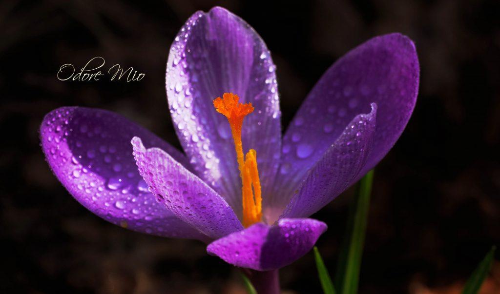 Odore Mio Saffron Rose Organic Perfume