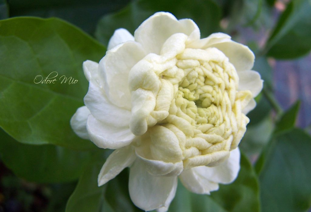 Odore Mio Jardin du Jasmin Perfume