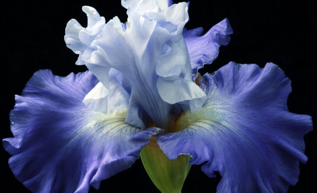 Odore Mio Iris Magnifique