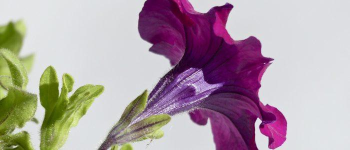Petunia Perfume